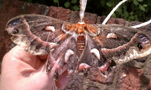 Giant Silkworm Moth clinging to twine