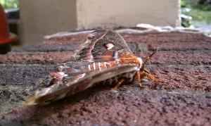 Giant Silkworm Moth